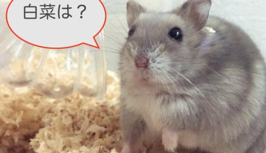 ハムスターは白菜が食べれるの?適量や与えるときの注意点は?