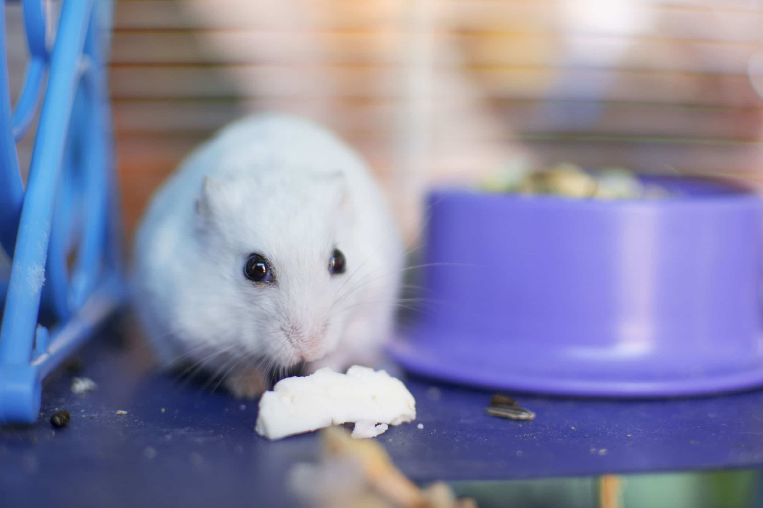 ハムスターは人間用のチーズを食べれるの?おすすめチーズも紹介!
