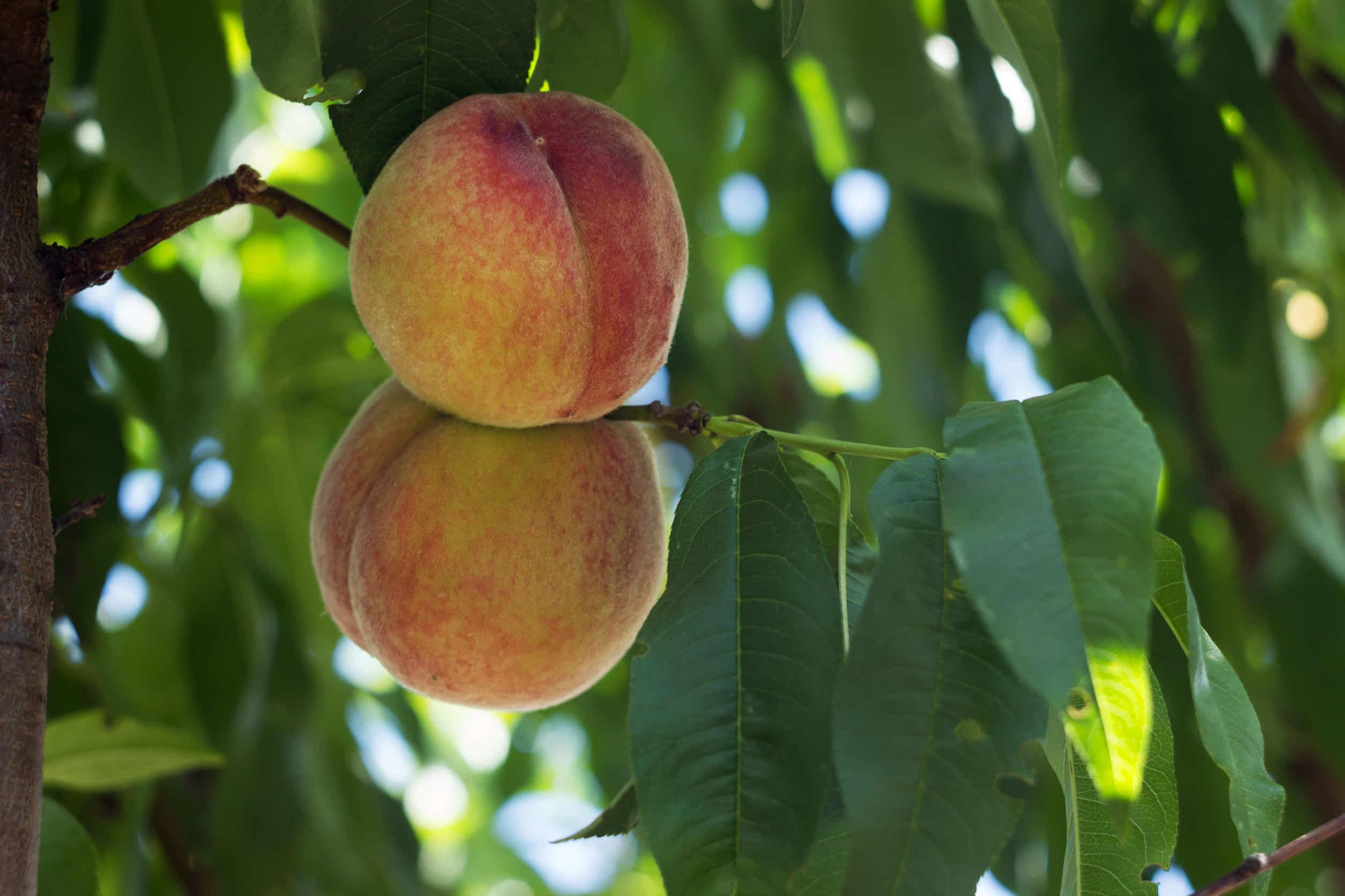 ハムスターに桃やかじり木を与えても大丈夫?実は危険な果物だった?!