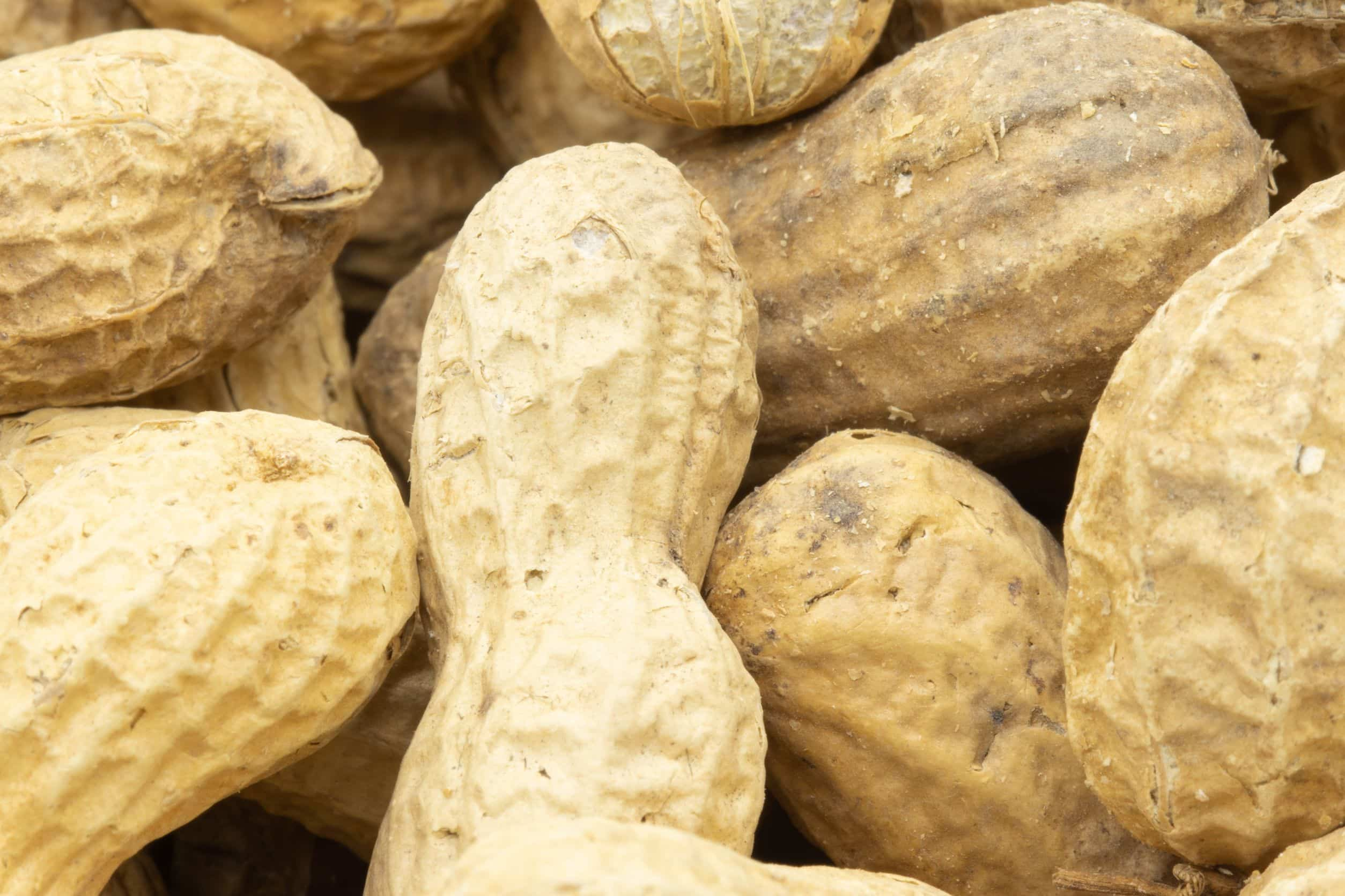 ハムスターはピーナッツや落花生を食べれるの?適量や注意点を紹介!