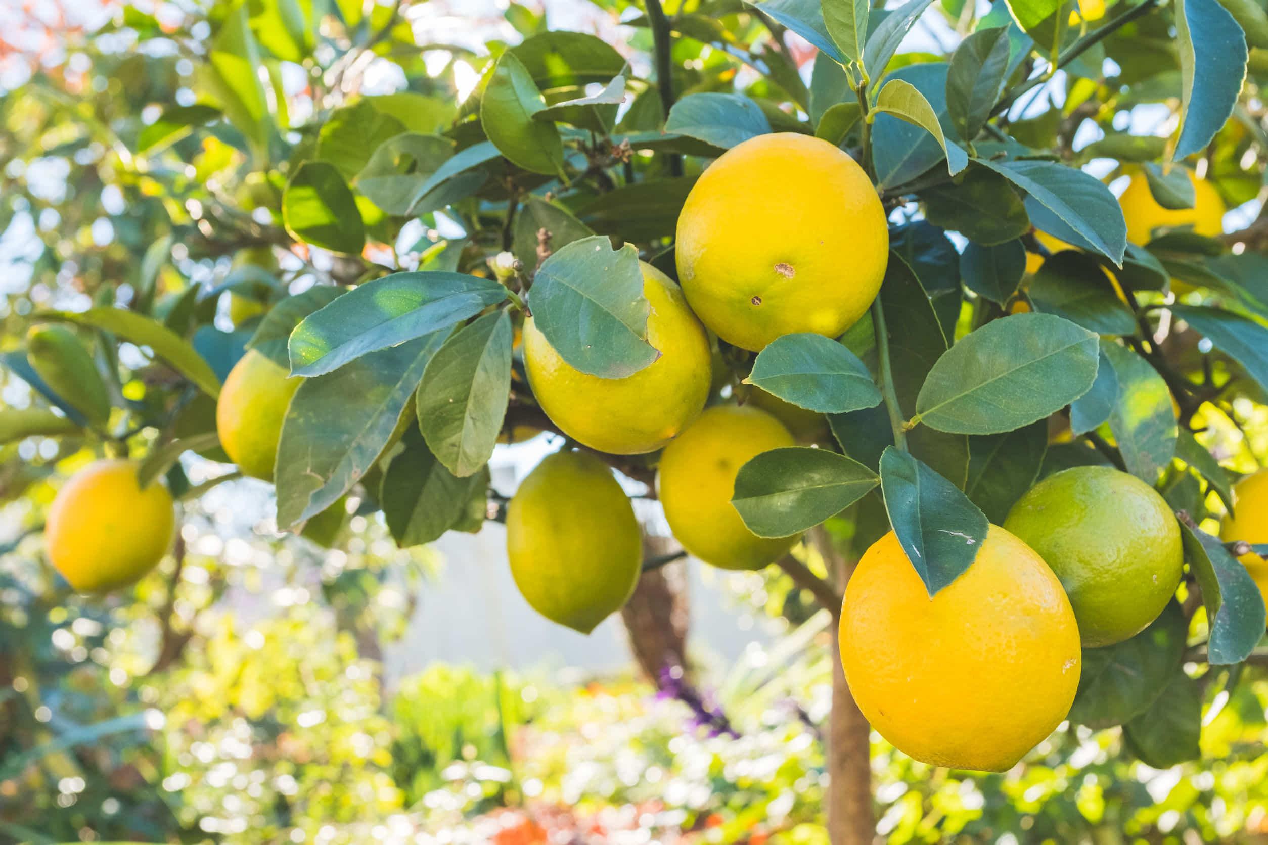 ハムスターにレモンを与えて良いの?ビタミンC補給は他の食べ物で!